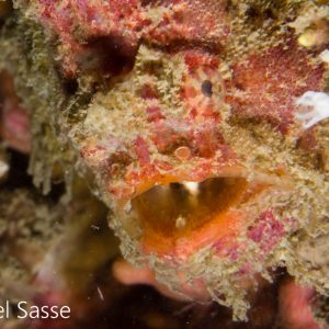 Bloodspot Frogfish