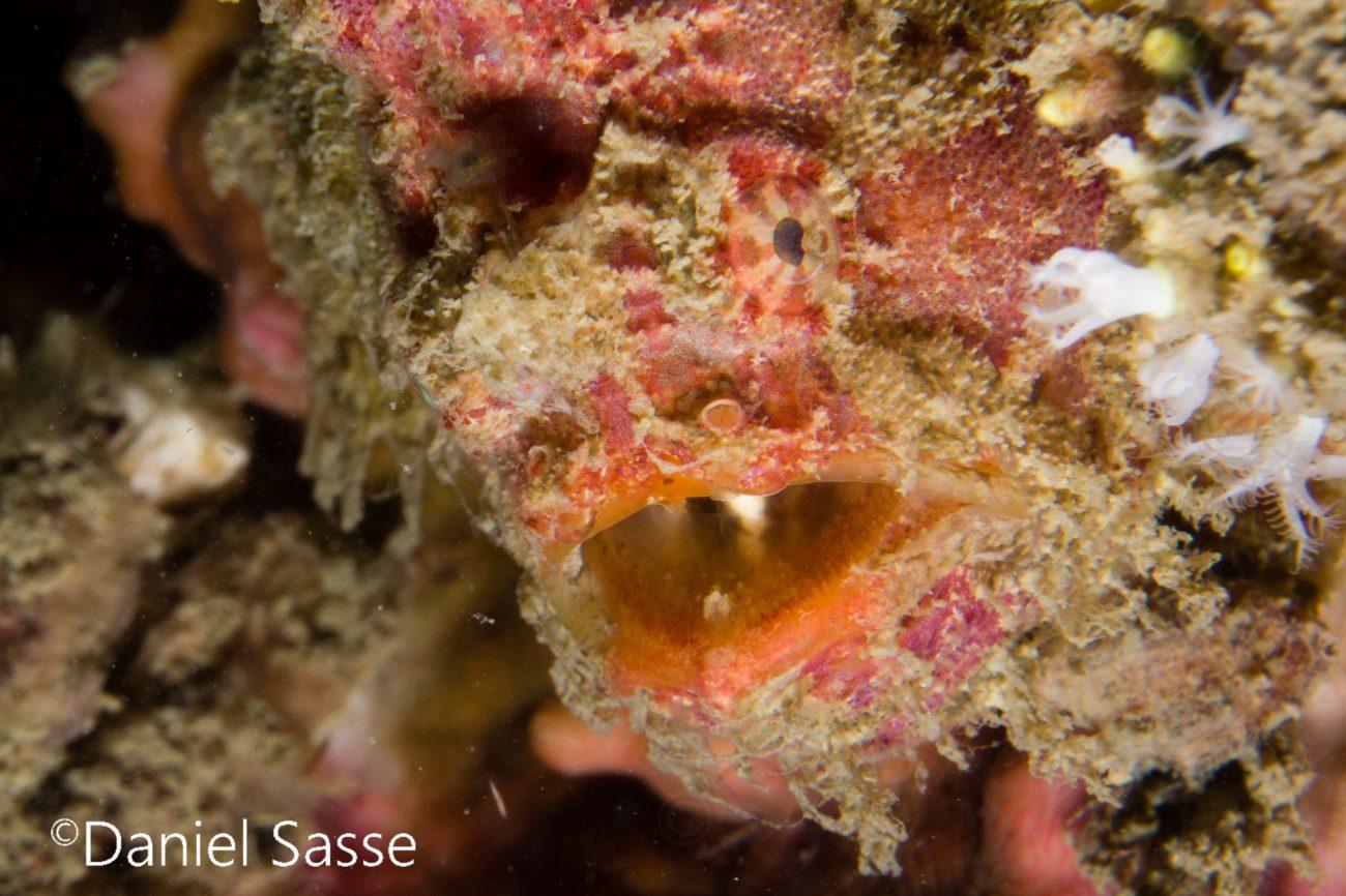 Bloodspot Frogfish