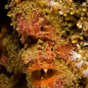 Bloodspot Frogfish Portrait