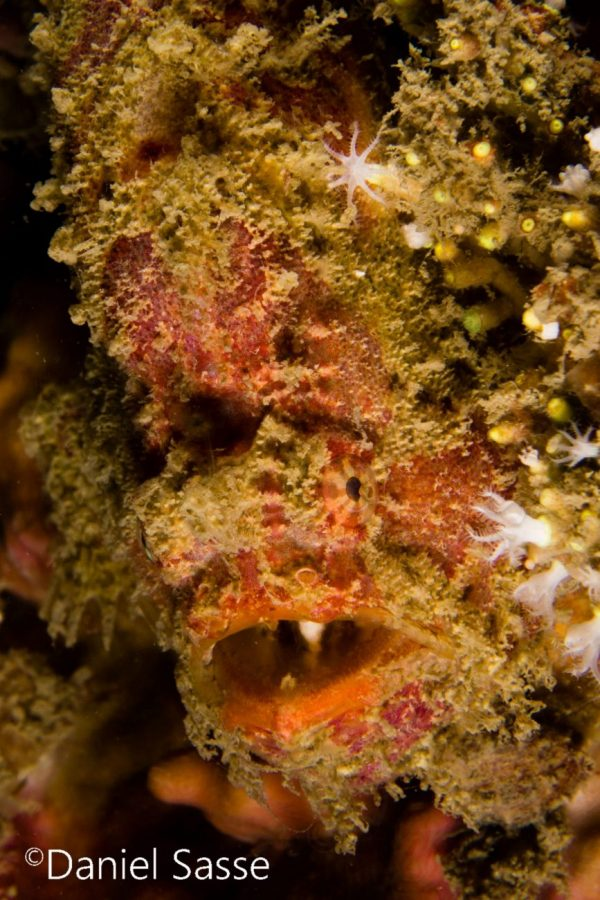 Bloody Frogfish Portrait