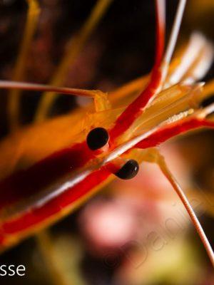 Skunk Shrimp