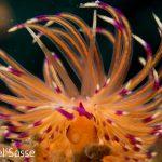 Coryphellina rubrolineata CloseUp