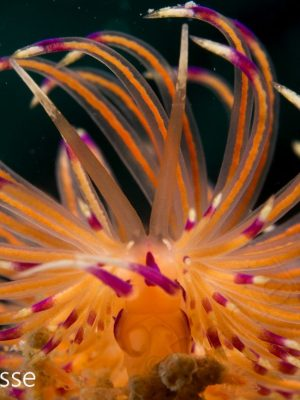 Unidentia aliciae CloseUp