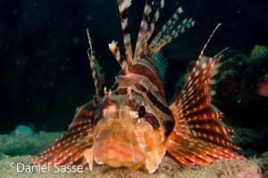 Dwarf Lionfish Rotfeuerfisch