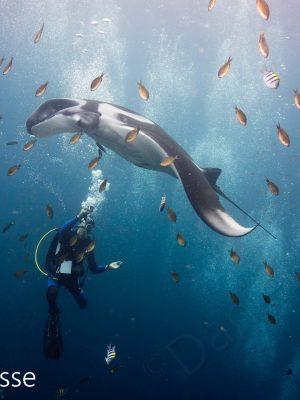 Manta Ray with Diver