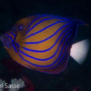 Blueringed Angelfish