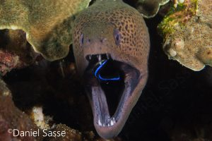 Giant Moray with Cleaner Wrasse Pregnant Cleaner Shrimp inside Giant Moray