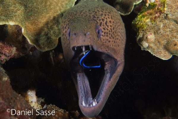 Giant Moray with Cleaner Wrasse