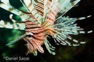 Red Lionfish Juvenile Teufels Drachenkopf