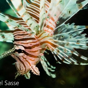 Red Lionfish Juvenile