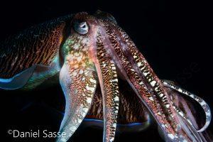 Pharao Cuttlefish 2 Eye of a Conch Shell