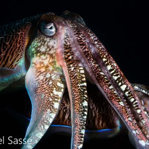Pharao Cuttlefish 2