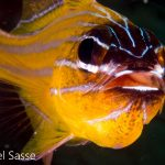 Yellow Striped Cardinalfish