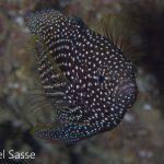 Comet Fish