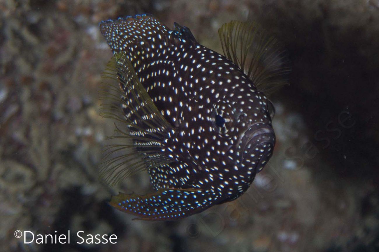 Comet Fish Peitschen Korallengrundel