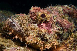 Tassled Scorpionfish Rogadius pristiger Thorny flathead