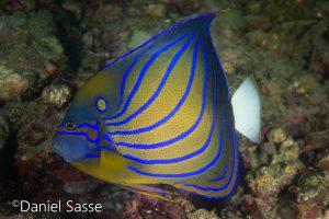 Blueringed Angelfish Teira Fledermausfisch