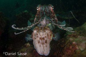 Pharaoh Cuttlefish Pharao-Tintenfisch