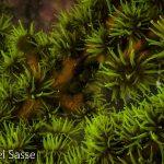 Black Sun Coral