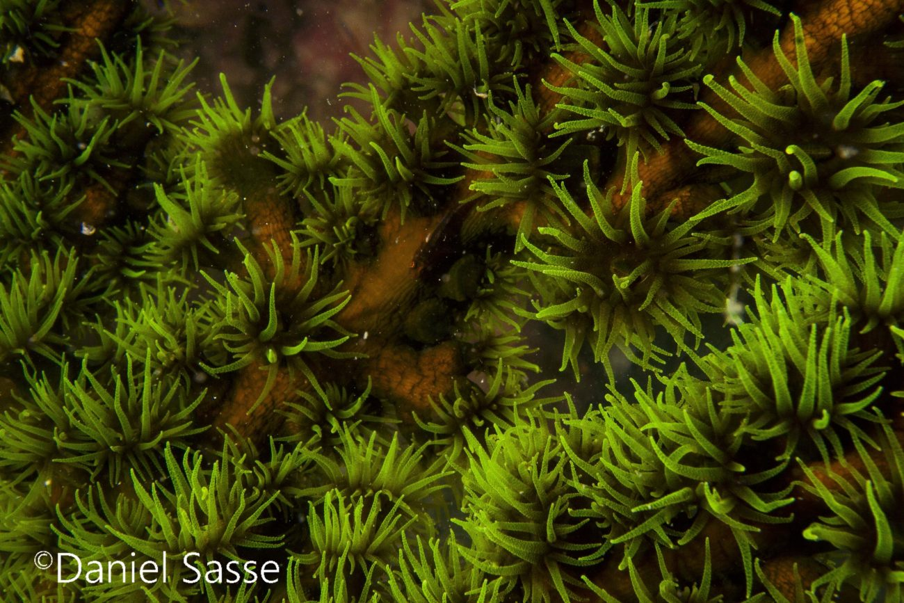 Black Sun Coral Phestilla melanobrachia