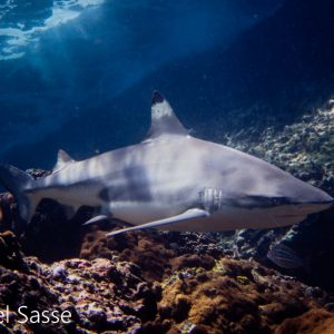 Blacktip Reef Shark Shallow Reef