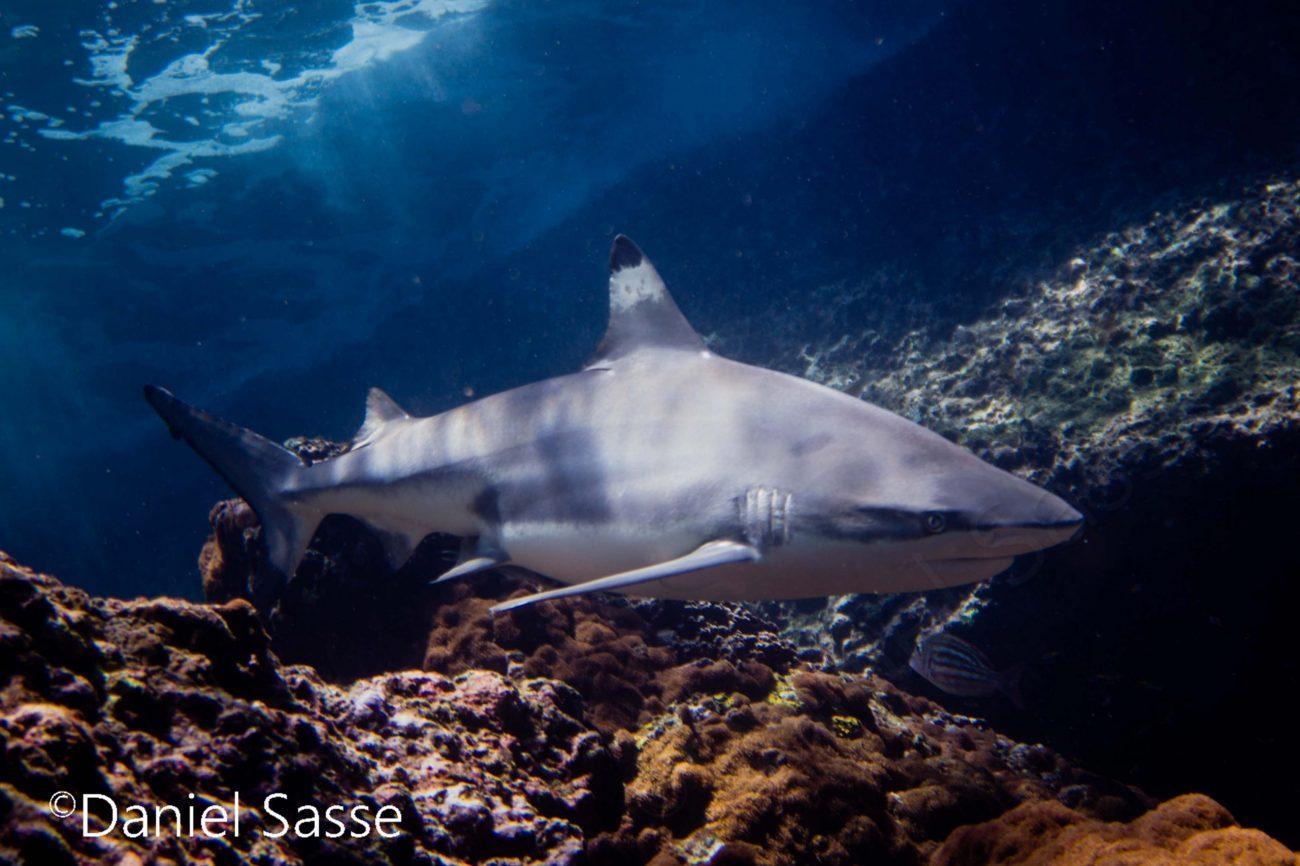 Blacktip Reef Shark Shallow Reef