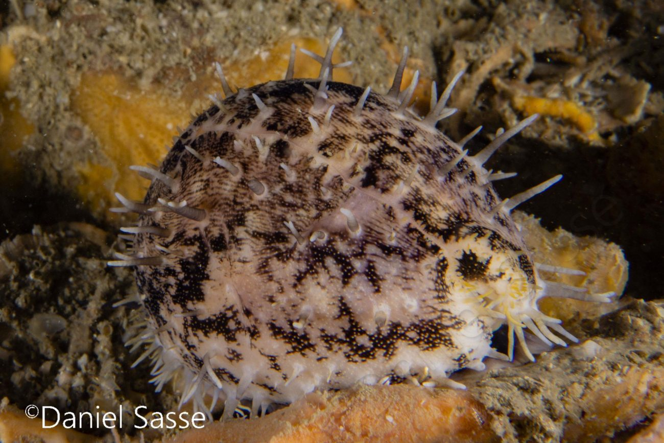 Cave Cowrie