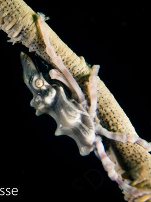 Xeno Crab white