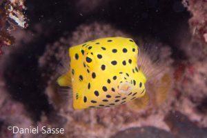Yellow Boxfish Gelber Kofferfisch