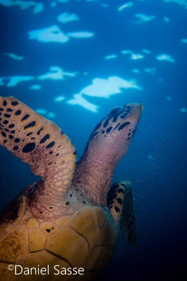 Hawksbill Turtle upwards