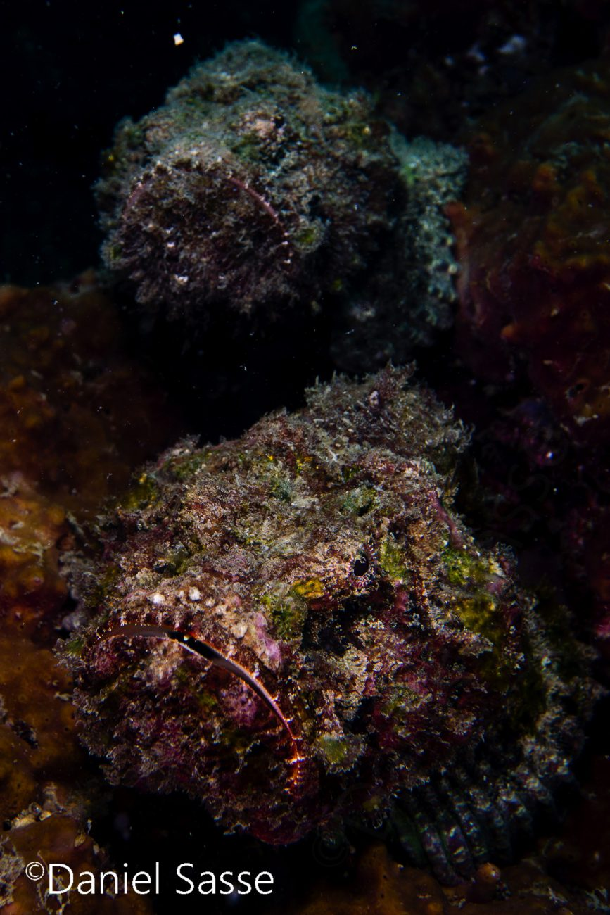 Grumpy Stonefish Couple