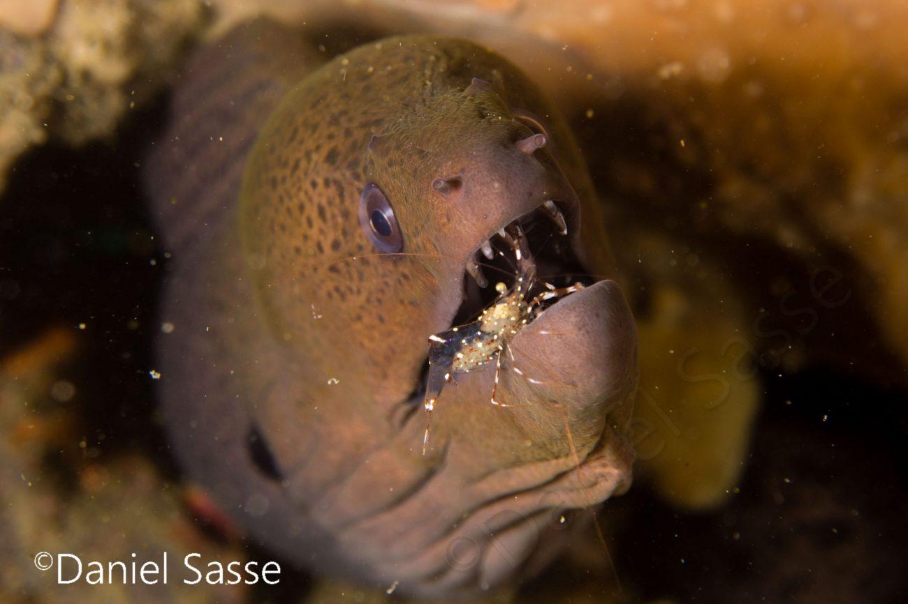 Pregnant Cleaner Shrimp inside Giant Moray