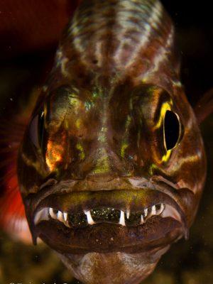 Tiger Cardinalfish