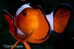 Nemo Portrait Nemo Ocellaris Clownfisch