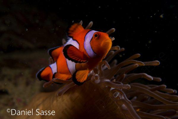 Nemo Ocellaris Clownfish