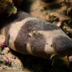 Brownbanded Bamboo Shark Juvenile