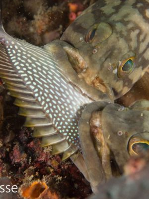 Cloudy Grouper fight for Dinner