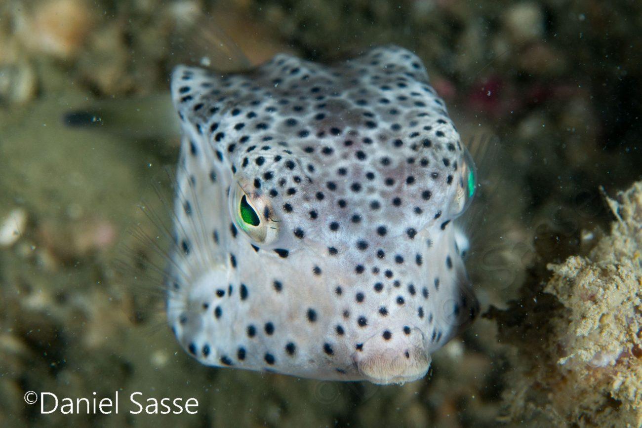 Shortnose Boxfish