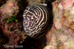 Zebra Moray Yellow Lipped Sea Krait