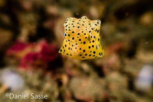 Juvenile Yellow Boxfish Shortnose Boxfish