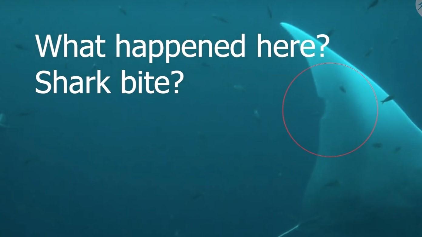 Shark Bite Manta Ray closeup