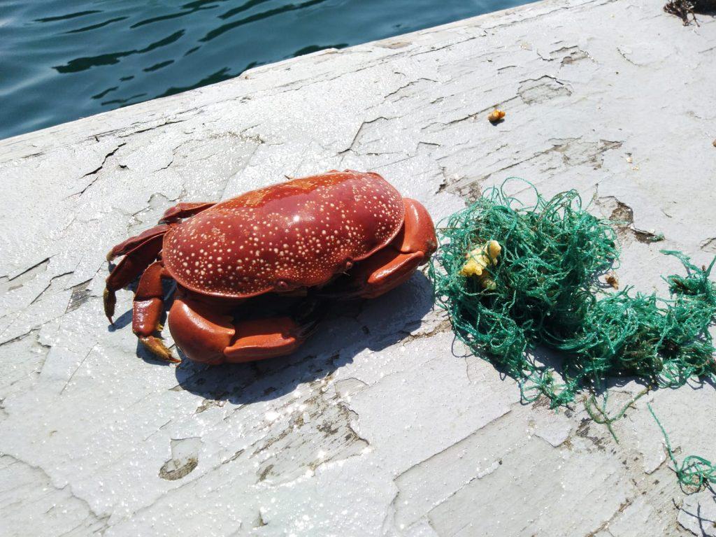 Rettung von Meerestieren crab