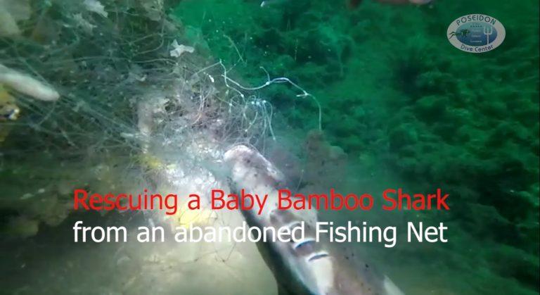 Baby Bamboo shark rescue