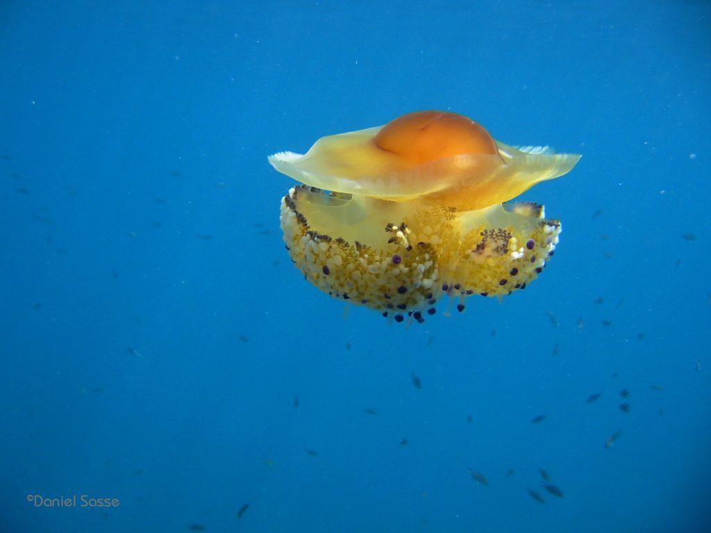 Egg-jelly-fish