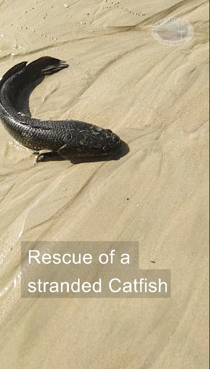 Beached Catfish Rescue