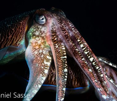 Pharao Cuttlefish 2