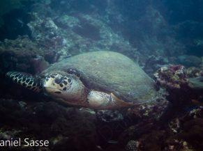 Stompy Hawksbill Sea Turtle World Sea Turtle Day 2021